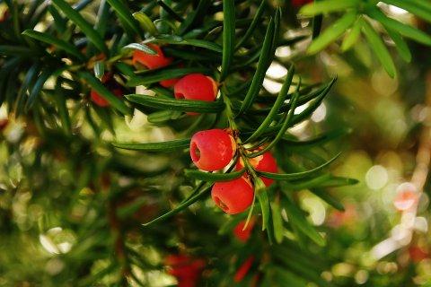 Jugapuu marjad. Foto: Pixabay